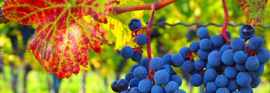 Roberto Verzo | Blue grapes | cc